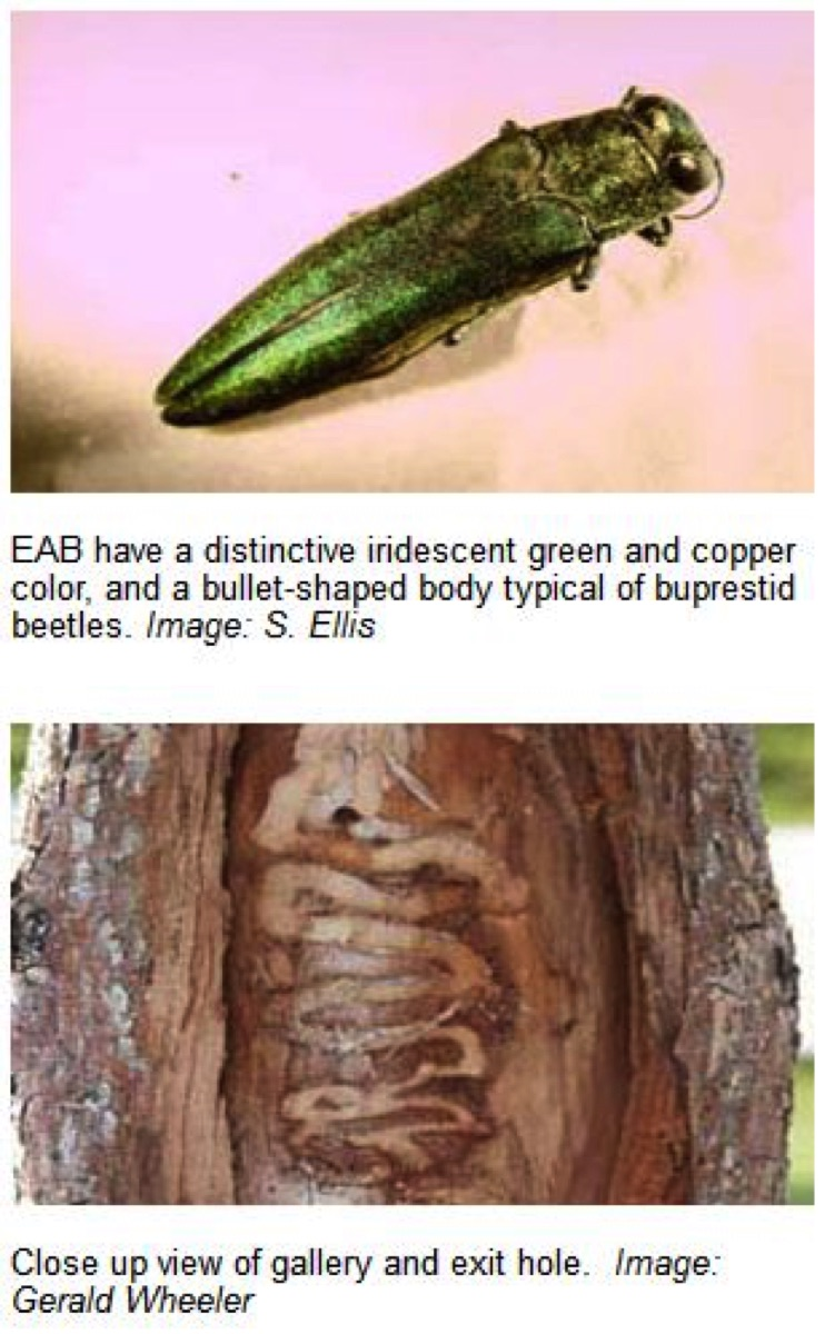 How To Identify And Control Emerald Ash Borer Damage In Colorado